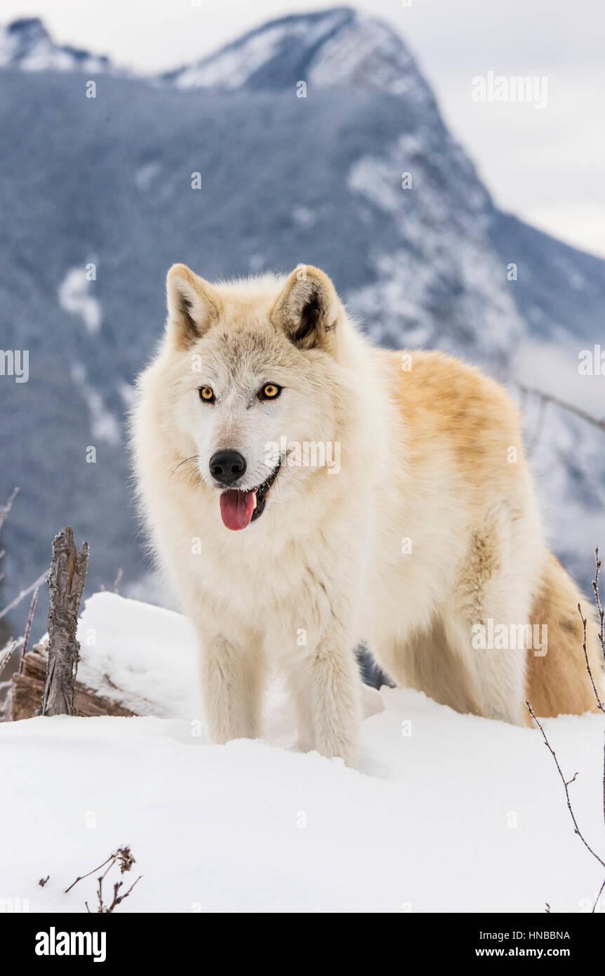 Lupo grigio; Lupus Canus; British Columbia; Canada Immagini Stock