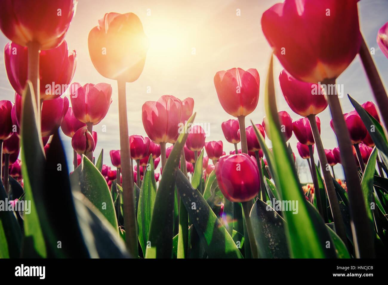 Tulipani rosa in Olanda. Immagini Stock