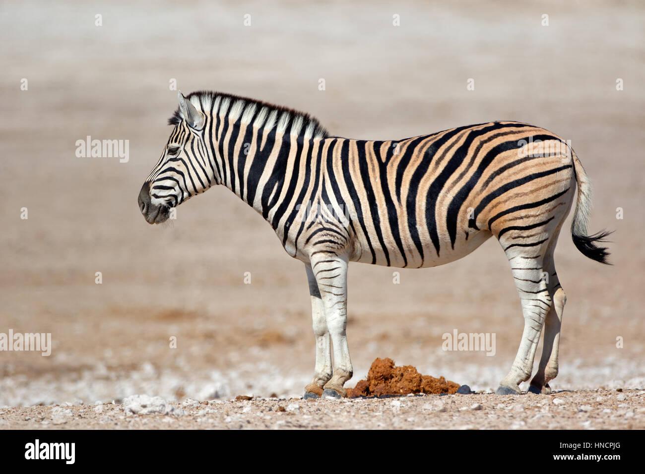 Una pianura (Burchells) zebra (Equus burchelli), il Parco Nazionale di Etosha, Namibia Immagini Stock