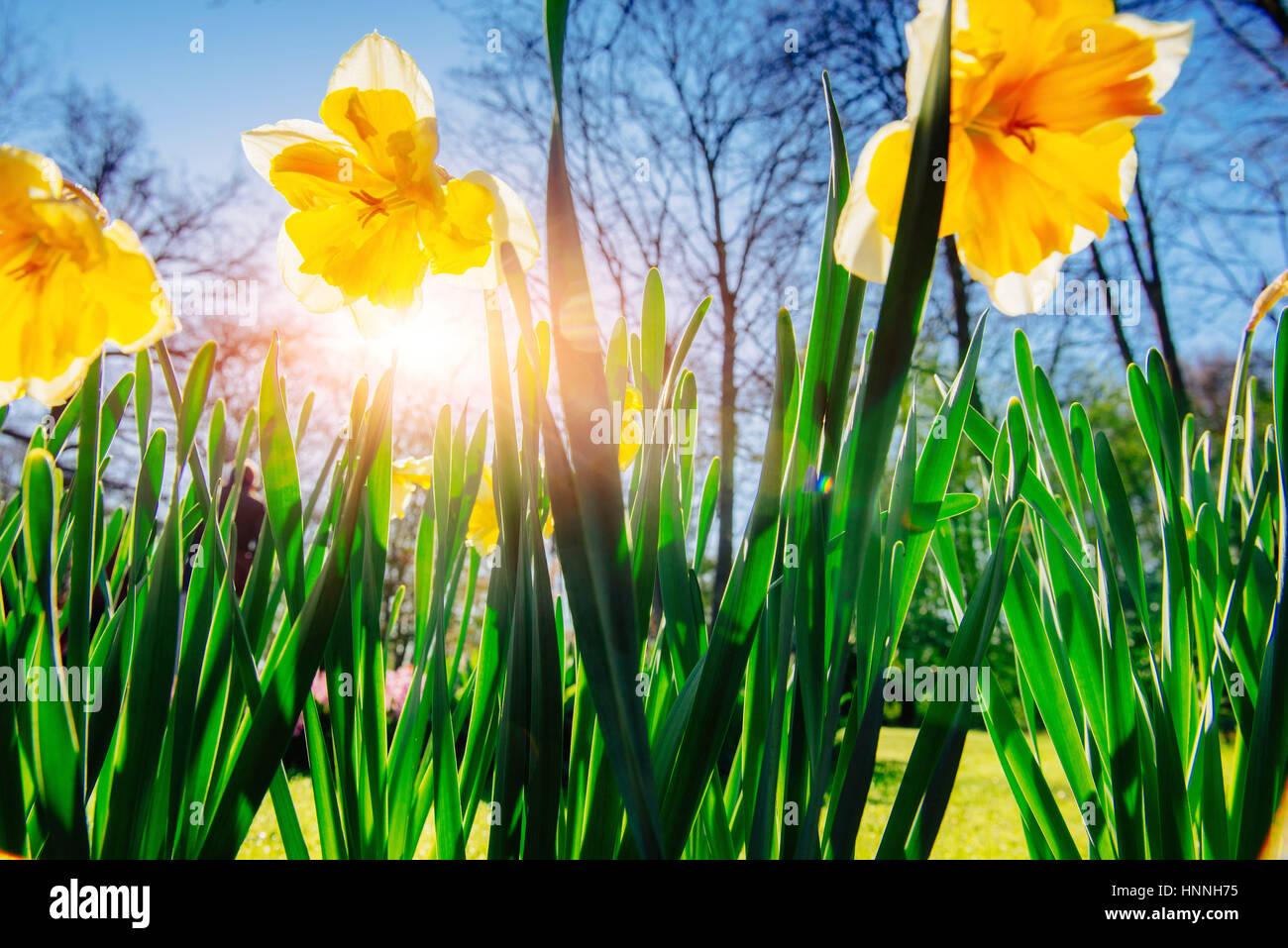 Yellow Daffodils nei giardini di Olanda Immagini Stock