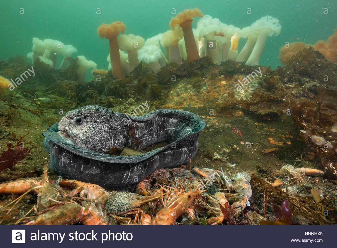 Un morente Anguilla Lupo si arriccia tra morti gamberoni nell'ossigeno esaurito dello Stato di Washington del Immagini Stock