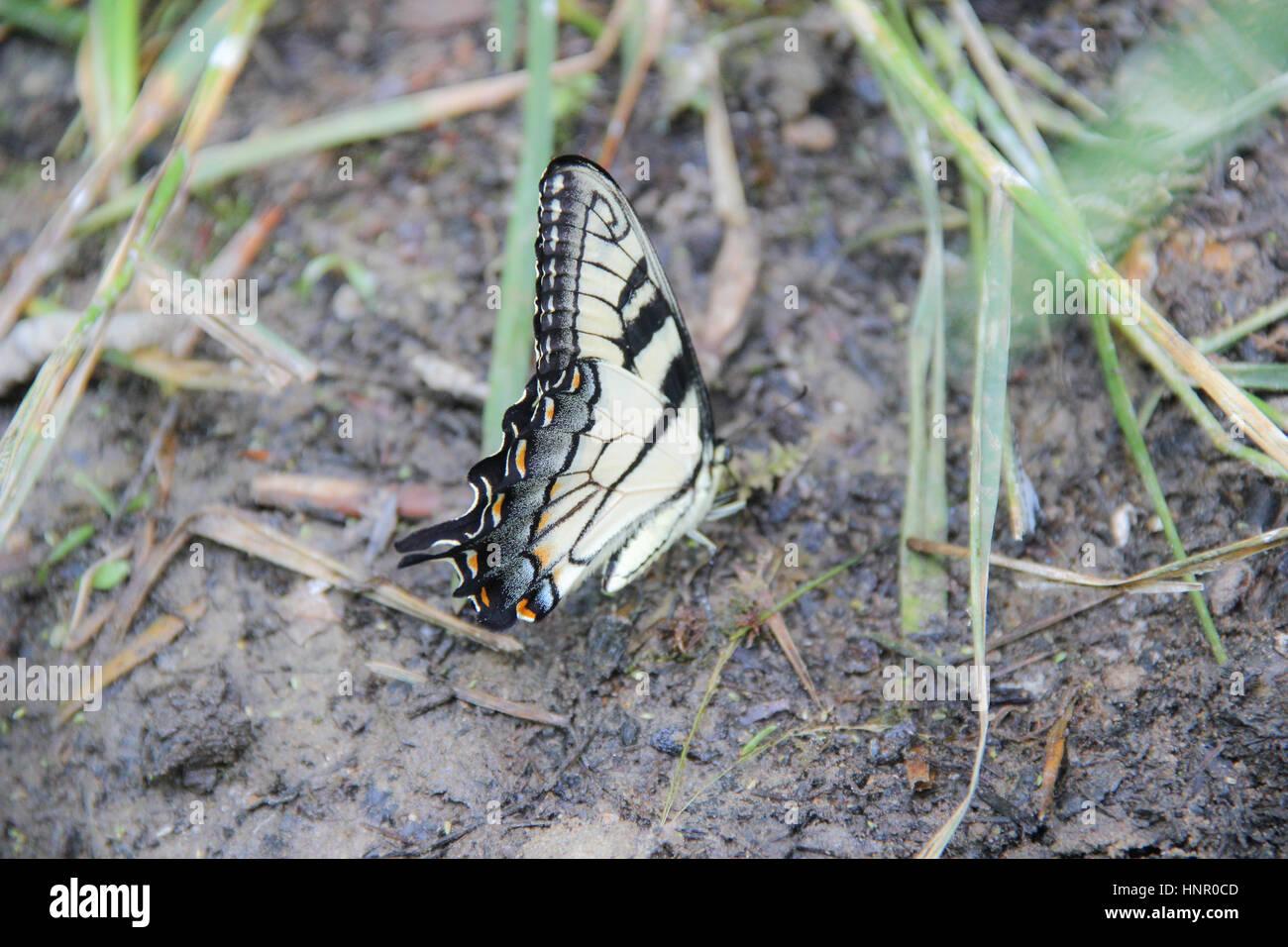 Tigre orientale a farfalla a coda di rondine in appoggio sul terreno Foto Stock