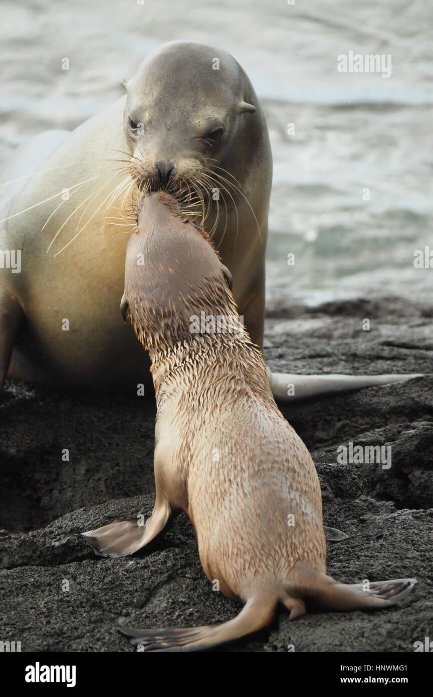Una madre pelliccia sigillo bacia il bambino in Galápagos Immagini Stock