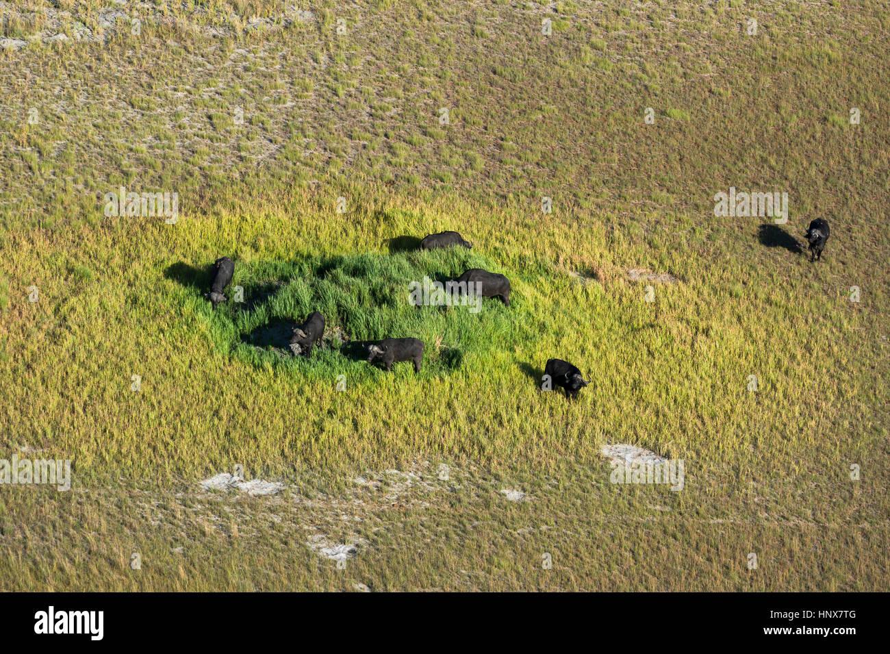 Vista aerea del capo buffalo (Syncerus caffer) pascolo del bestiame al pascolo, Okavango Delta, Botswana Foto Stock