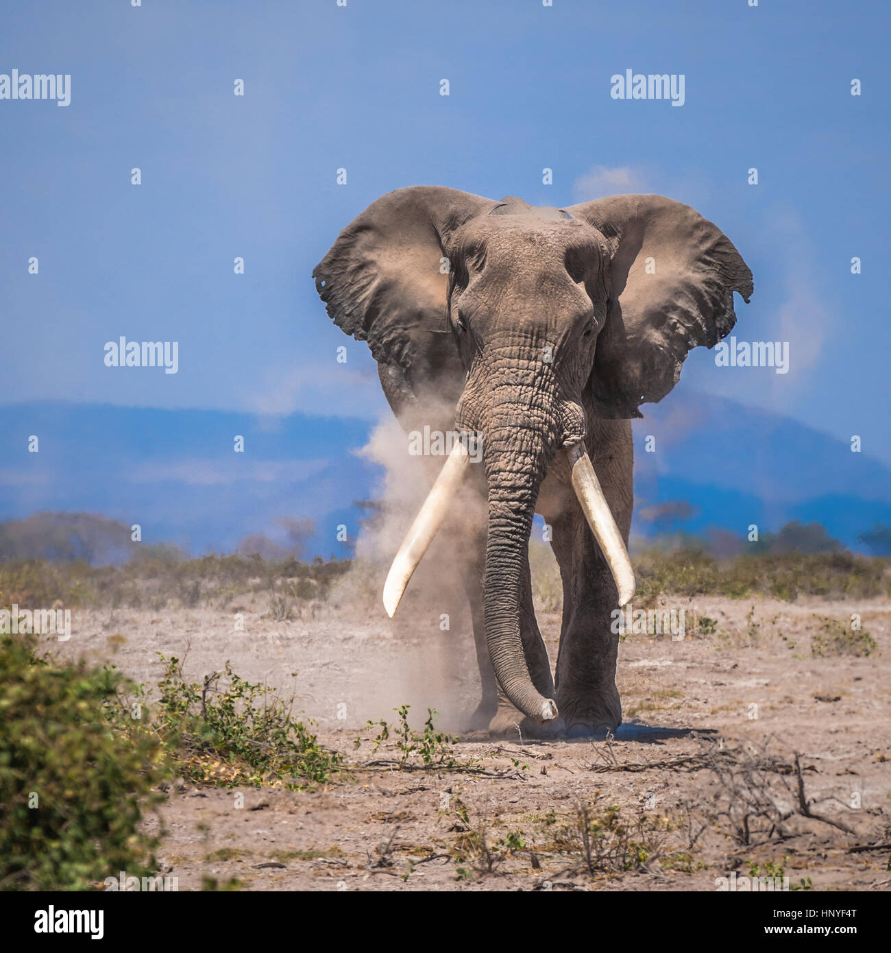 Il vecchio elefante, Amboseli National Park, Kenya Immagini Stock