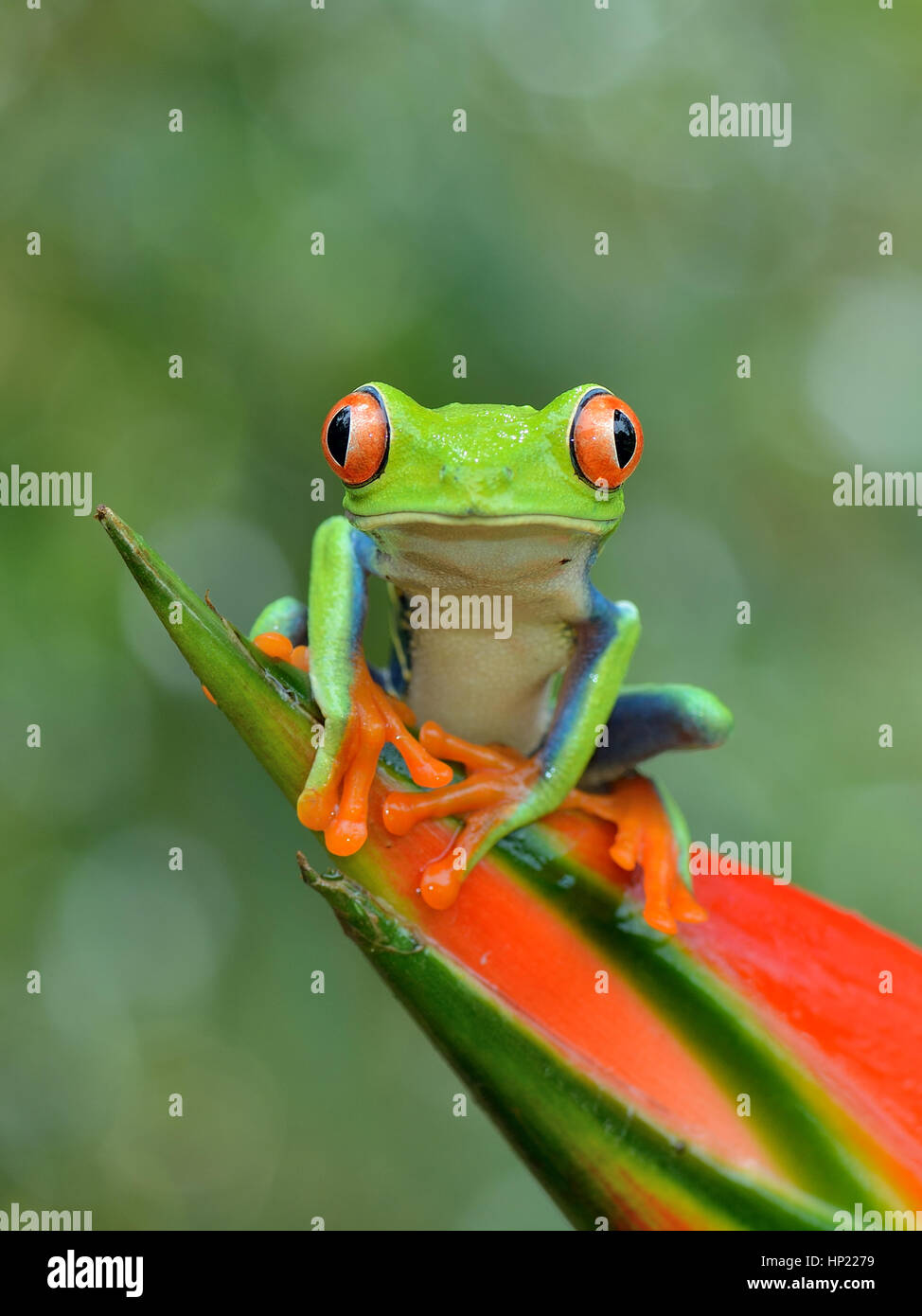 Red-eyed Raganella in Costa Rica rain forest Immagini Stock