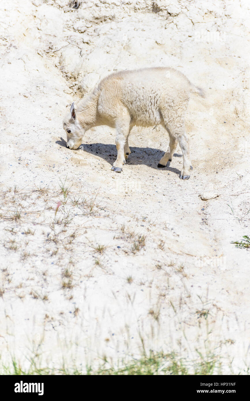 Mountain capretto al Salt Lick, Jasper National Park, Alberta, Canada Immagini Stock