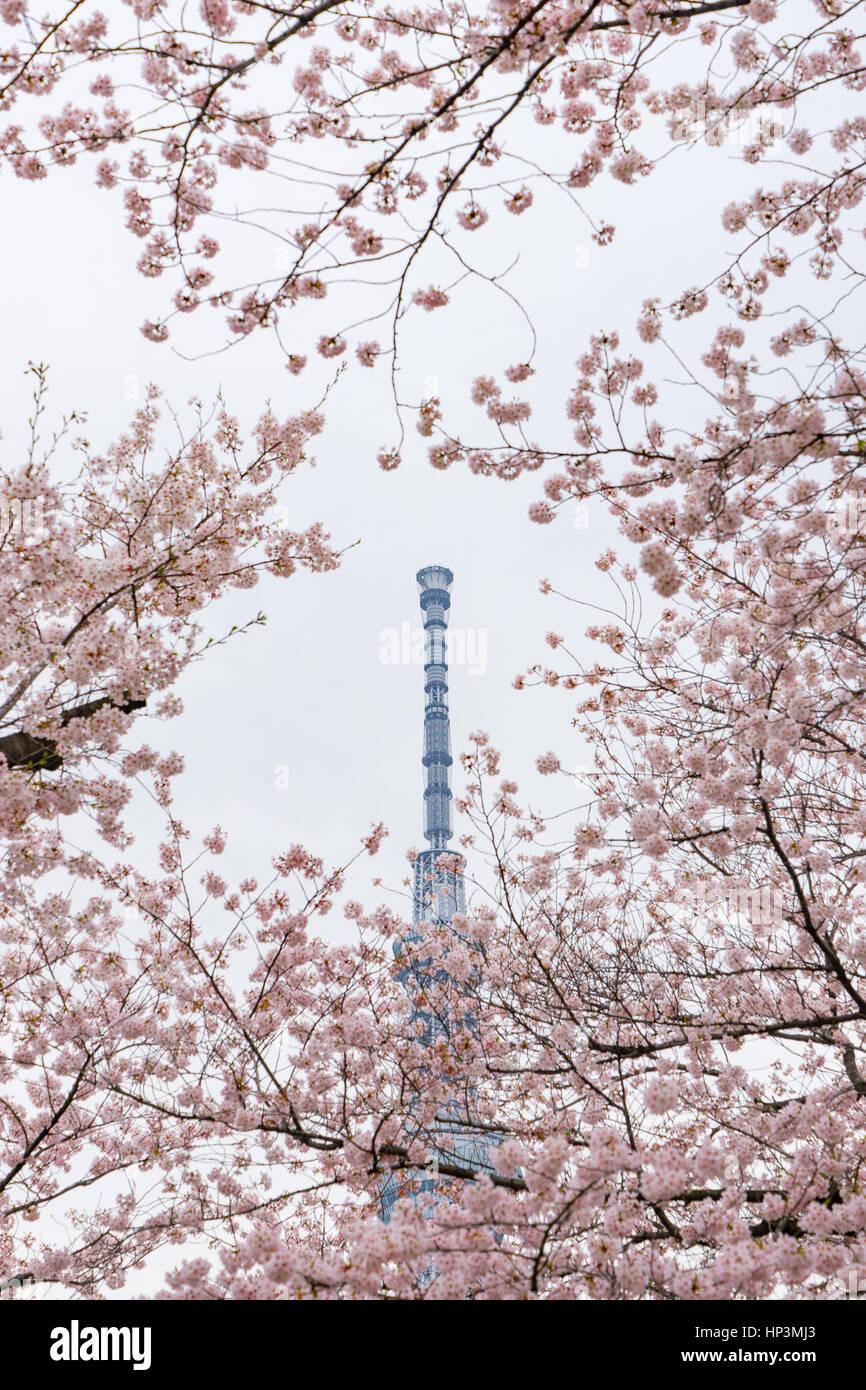 Tokyo Skytree dietro full-fiorì sakura fiori Immagini Stock