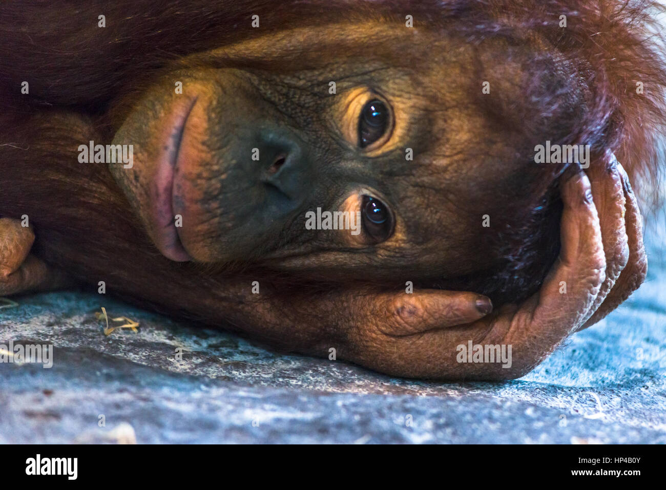 Triste Orangutang close up Immagini Stock