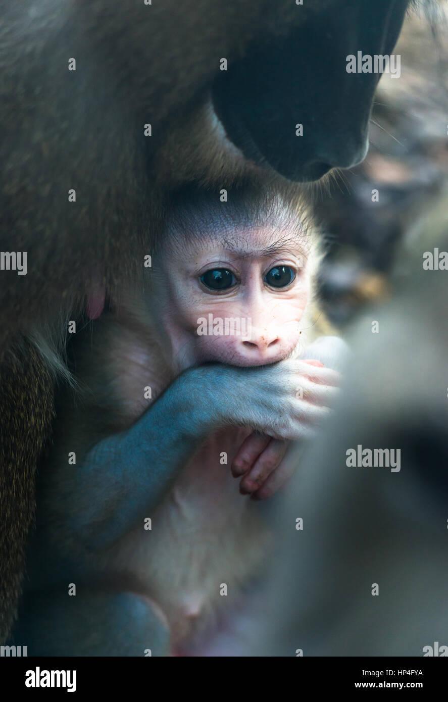 La madre e il bambino trapanare le scimmie. Immagini Stock