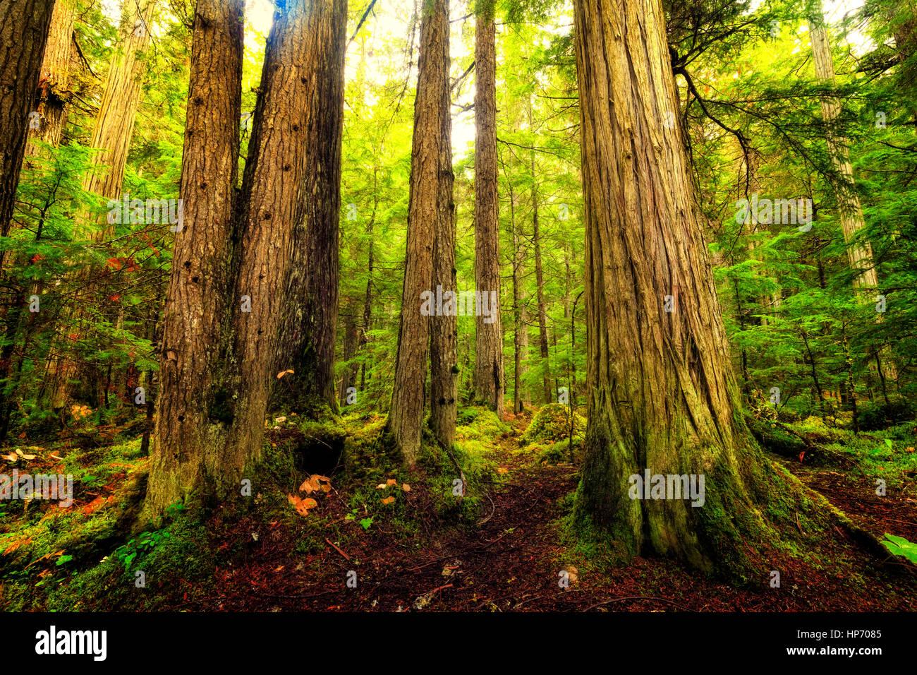 Canadese di crescita vecchia foresta pluviale, Mt Robson National Park, British Columbia, Canada Immagini Stock