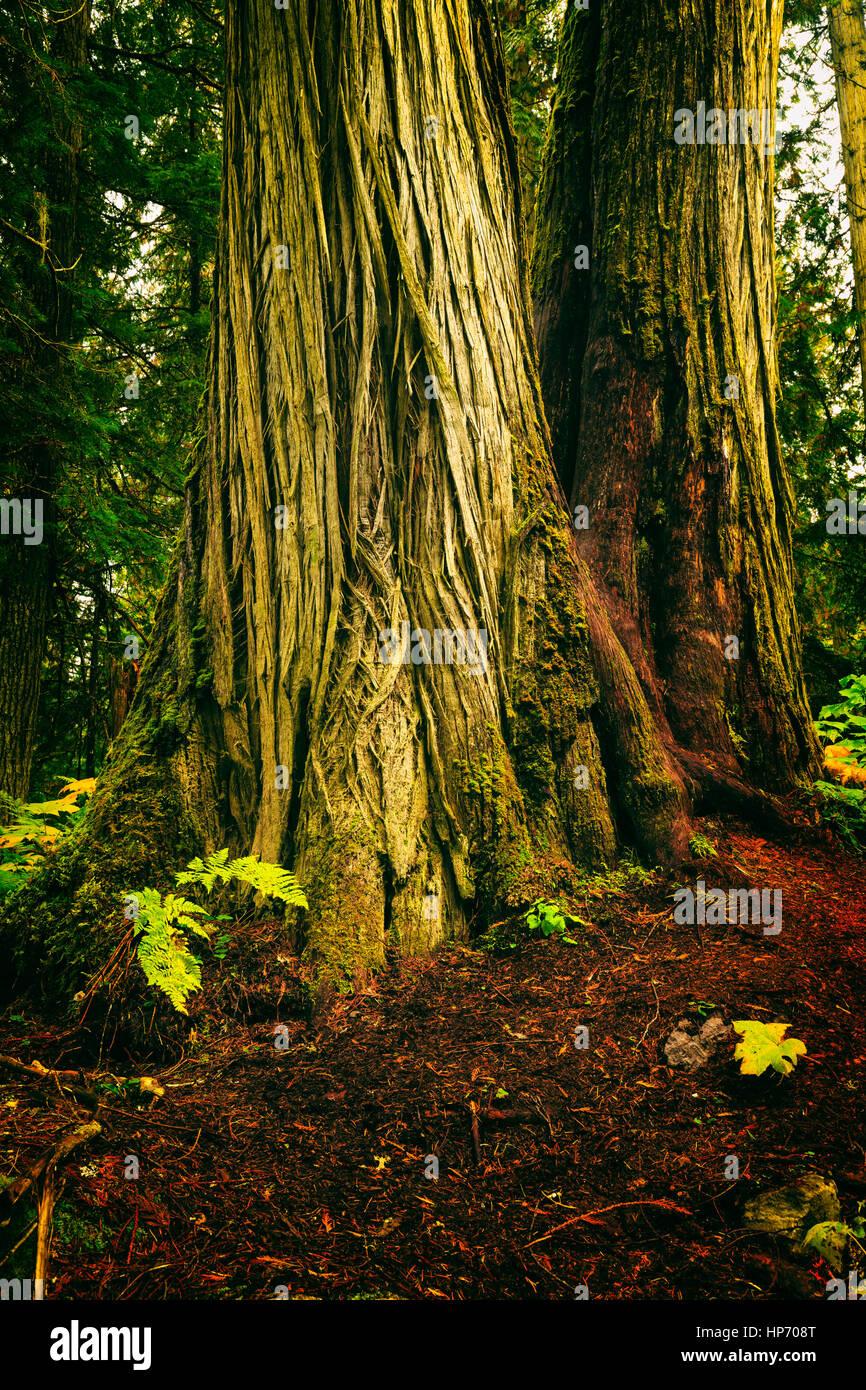 Canadese di crescita vecchia foresta pluviale, Mt Robson National Park, British Columbia, Canada Foto Stock
