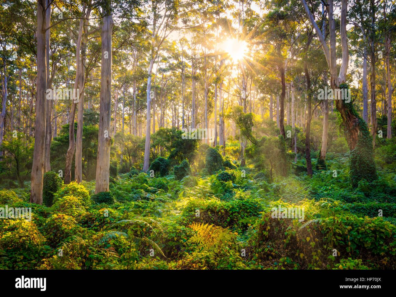 Raggi di sole inserimenti attraverso gli alberi vecchi Karridale, Australia occidentale Immagini Stock