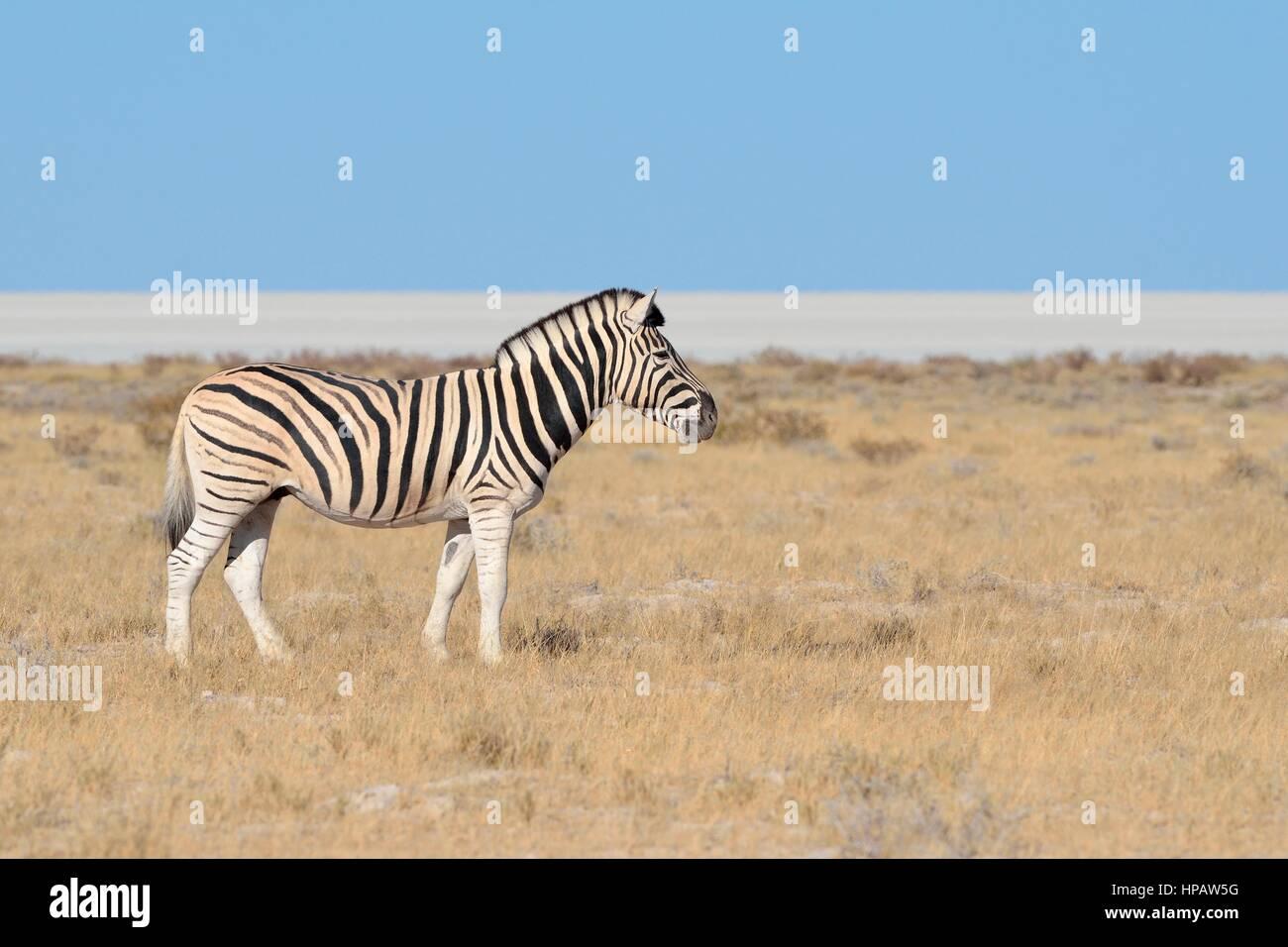 La Burchell zebra (Equus quagga burchellii), sale di Etosha pan sul retro, il Parco Nazionale di Etosha, Namibia, Immagini Stock