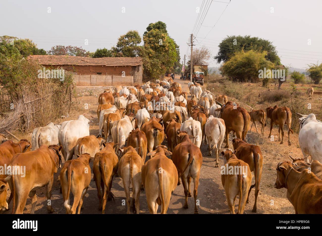 Una mandria di mucche sulla strada in un villaggio indiano, nello Stato del Maharashtra, India, Asia Immagini Stock