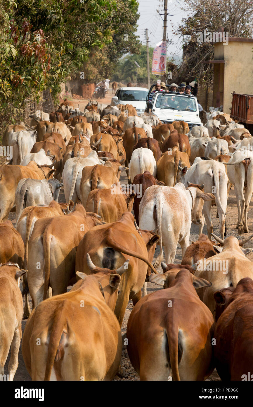 Vacche sulla strada, esempio di agricoltura o di allevamento, nello stato del Maharashtra, India, Asia Immagini Stock