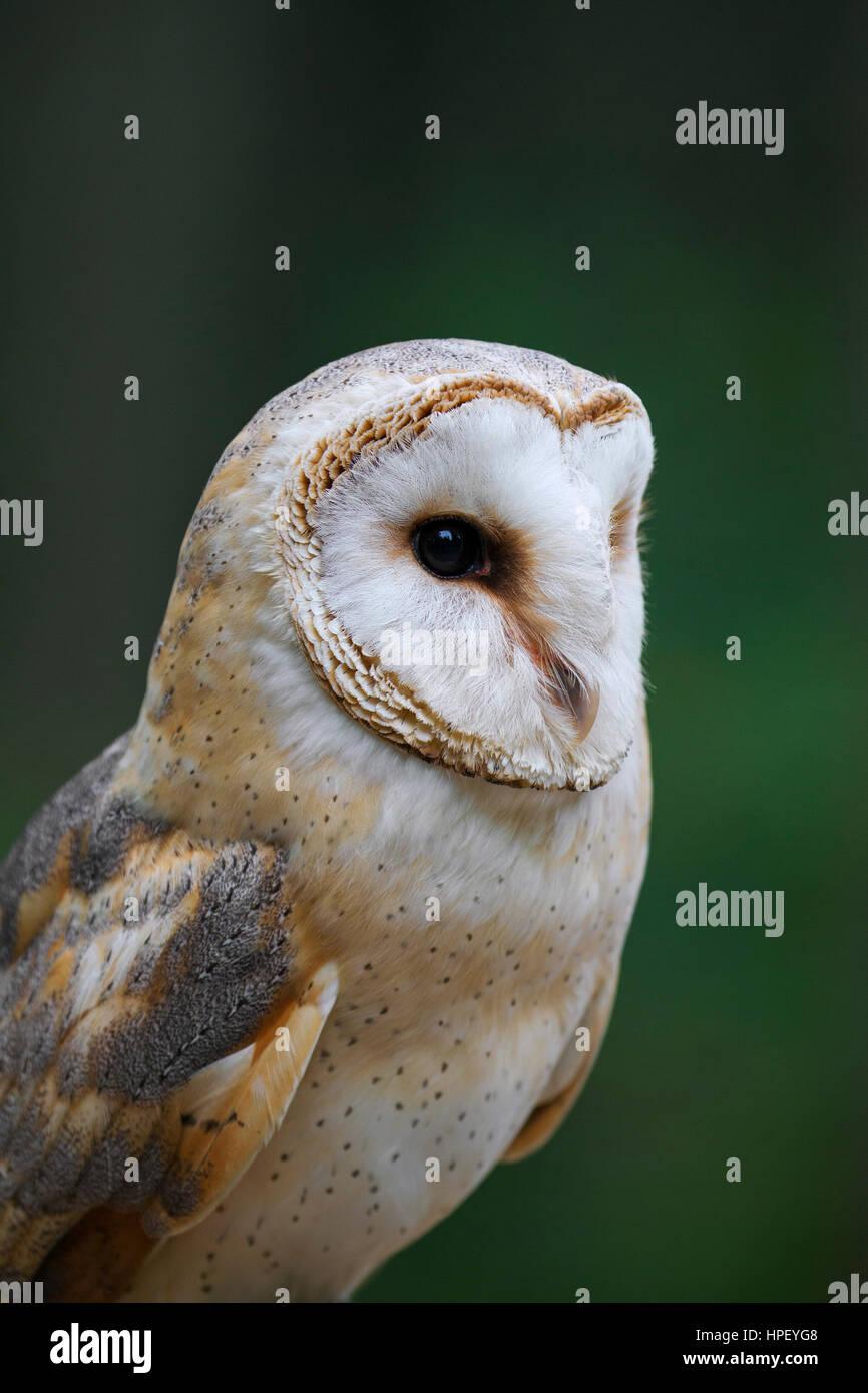 Il barbagianni (Tyto alba) close up verticale mostrante prominente disco facciale Immagini Stock