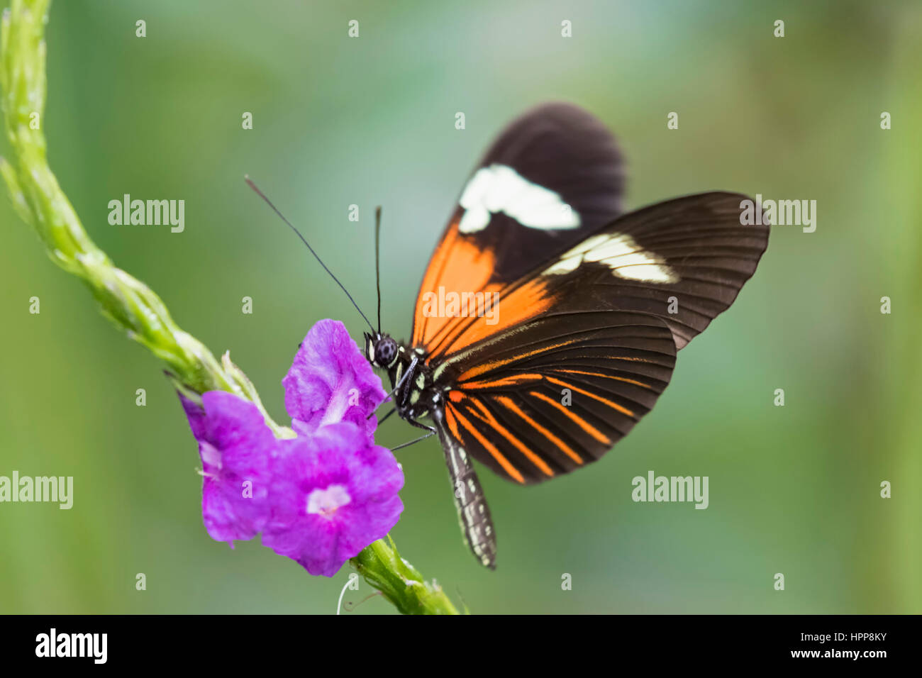Perù, il Parco Nazionale del Manu, farfalle tropicali in fiore Immagini Stock