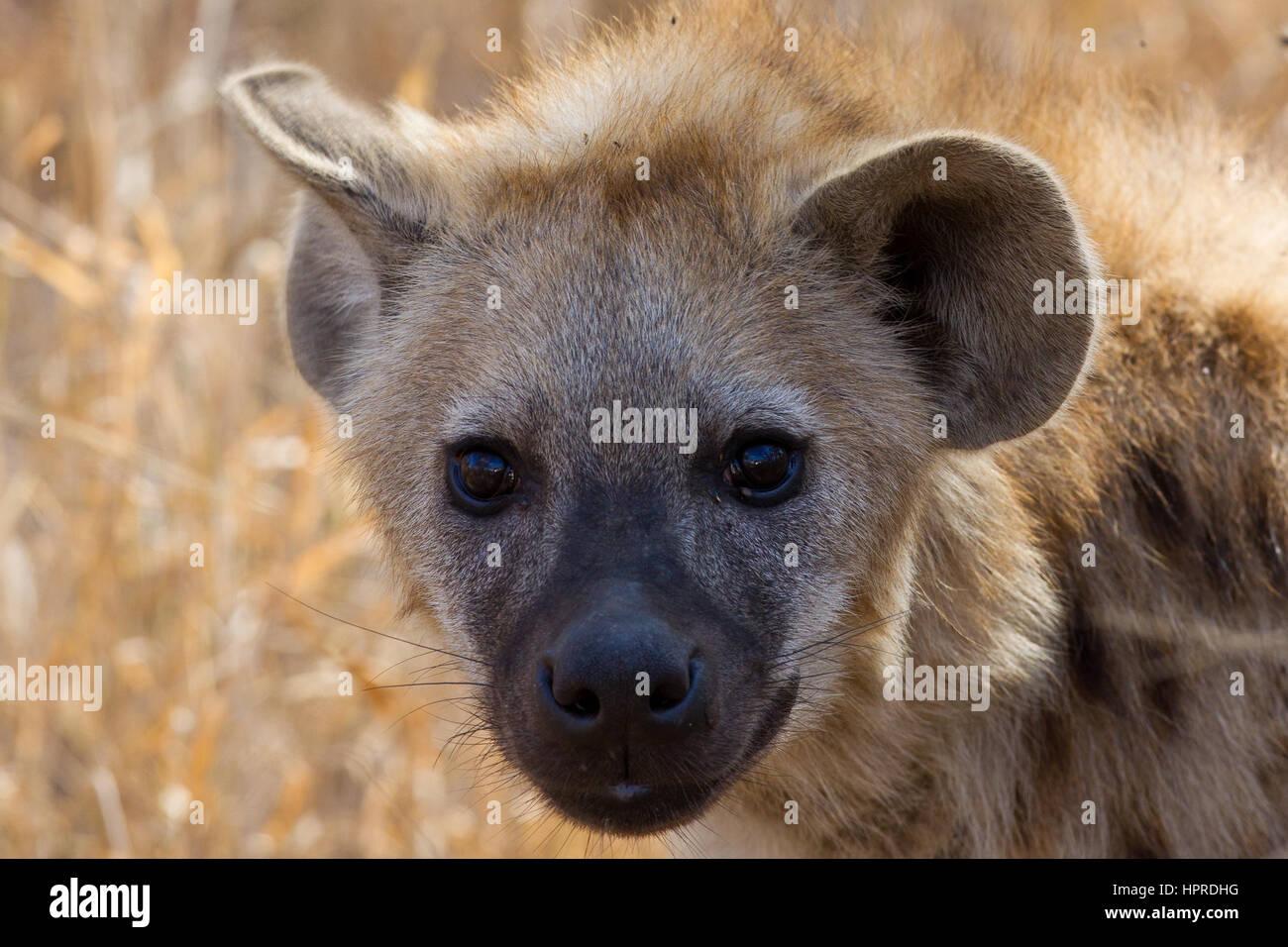 Avvistato iena sono tra il prominente la fauna del Parco Nazionale di Kruger, Sud Africa. Immagini Stock