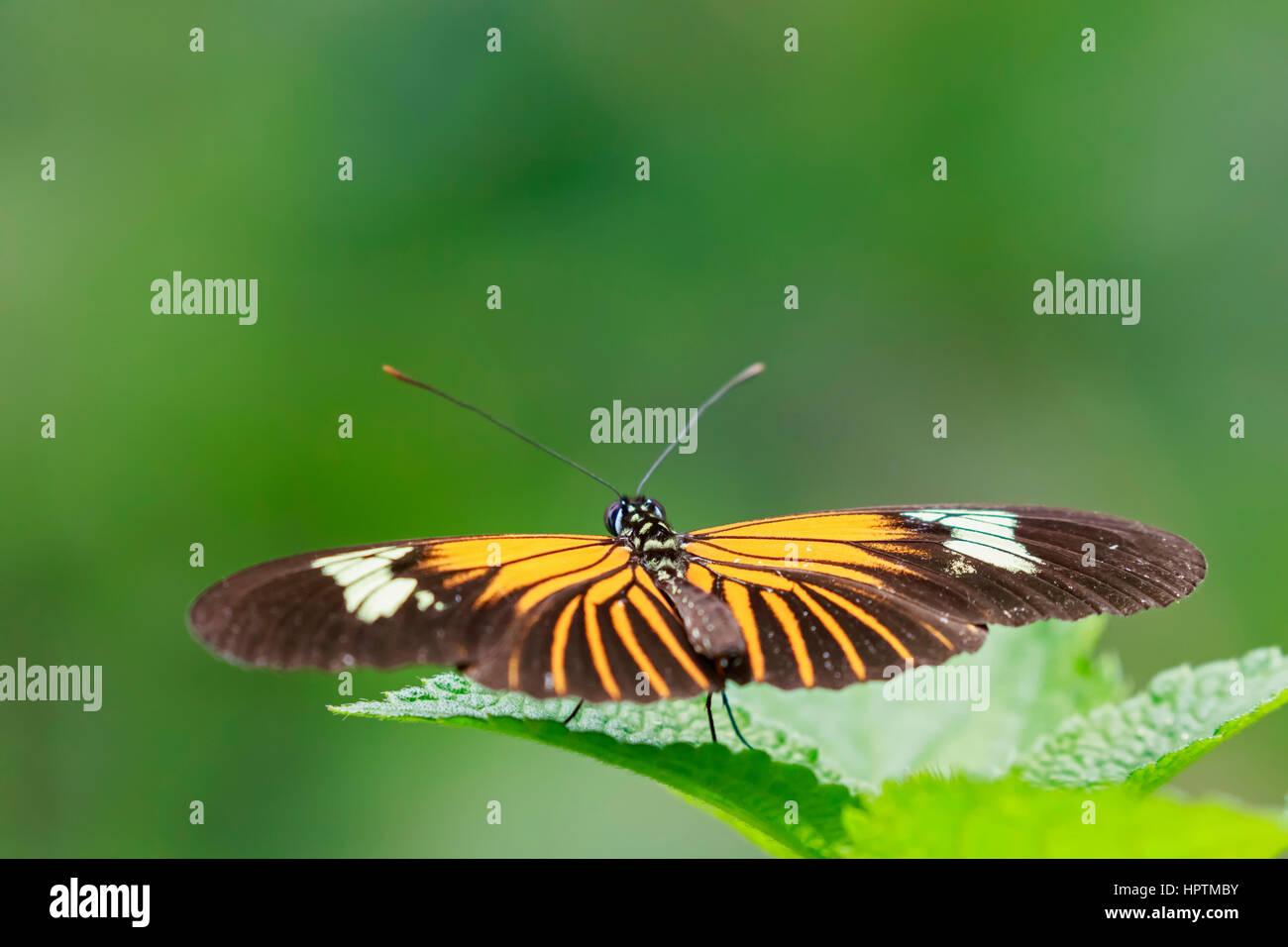 Perù, il Parco Nazionale del Manu, farfalle tropicali sulla lamina Immagini Stock