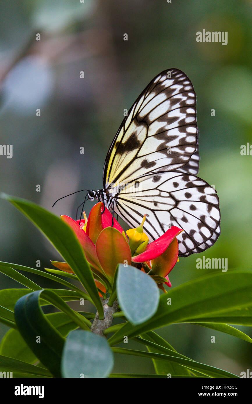 Ninfa ad albero (Idea leuconoe) farfalla Immagini Stock