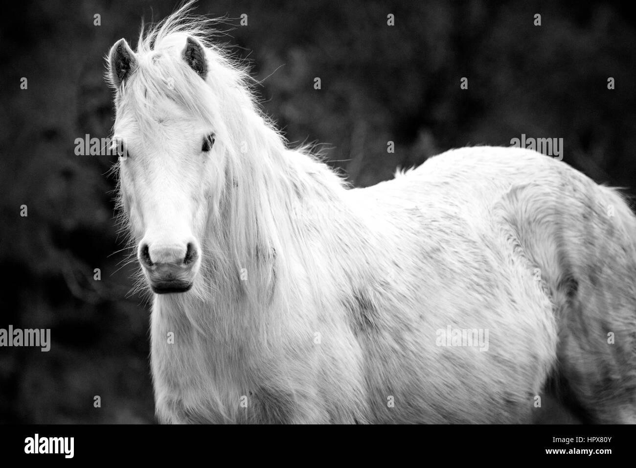 Wild Carneddau Pony da soli in una SSSI in Lixwm per mantenere la vegetazione verso il basso per abilitare il fiorire Immagini Stock