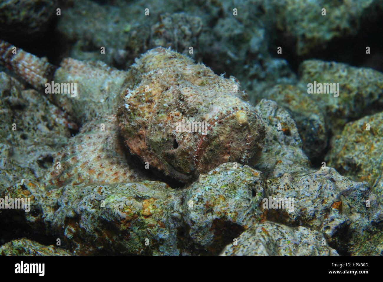 falso pesce pietra scorpaenopsis diabolus sott 39 acqua sul