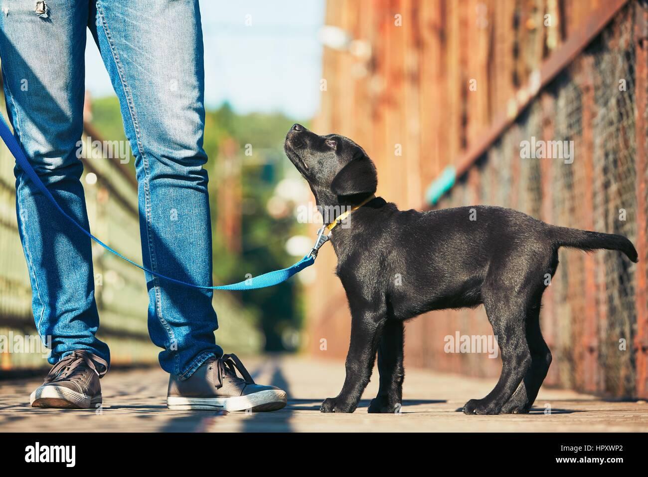 Passeggiata mattutina con il cane (nero labrador retriever). Giovane uomo è la formazione il suo cucciolo di Immagini Stock