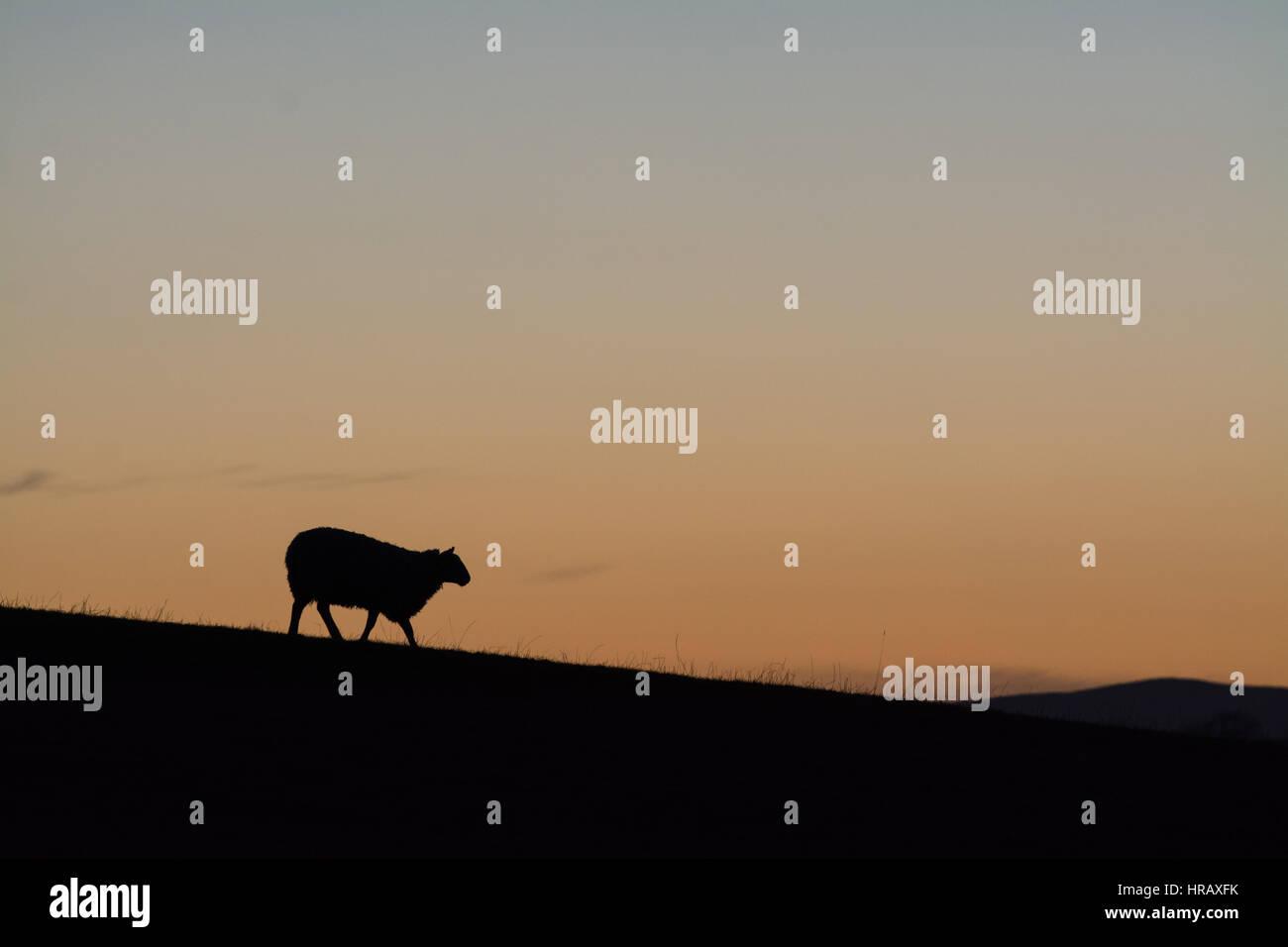 Silhouette di pecora al tramonto Immagini Stock