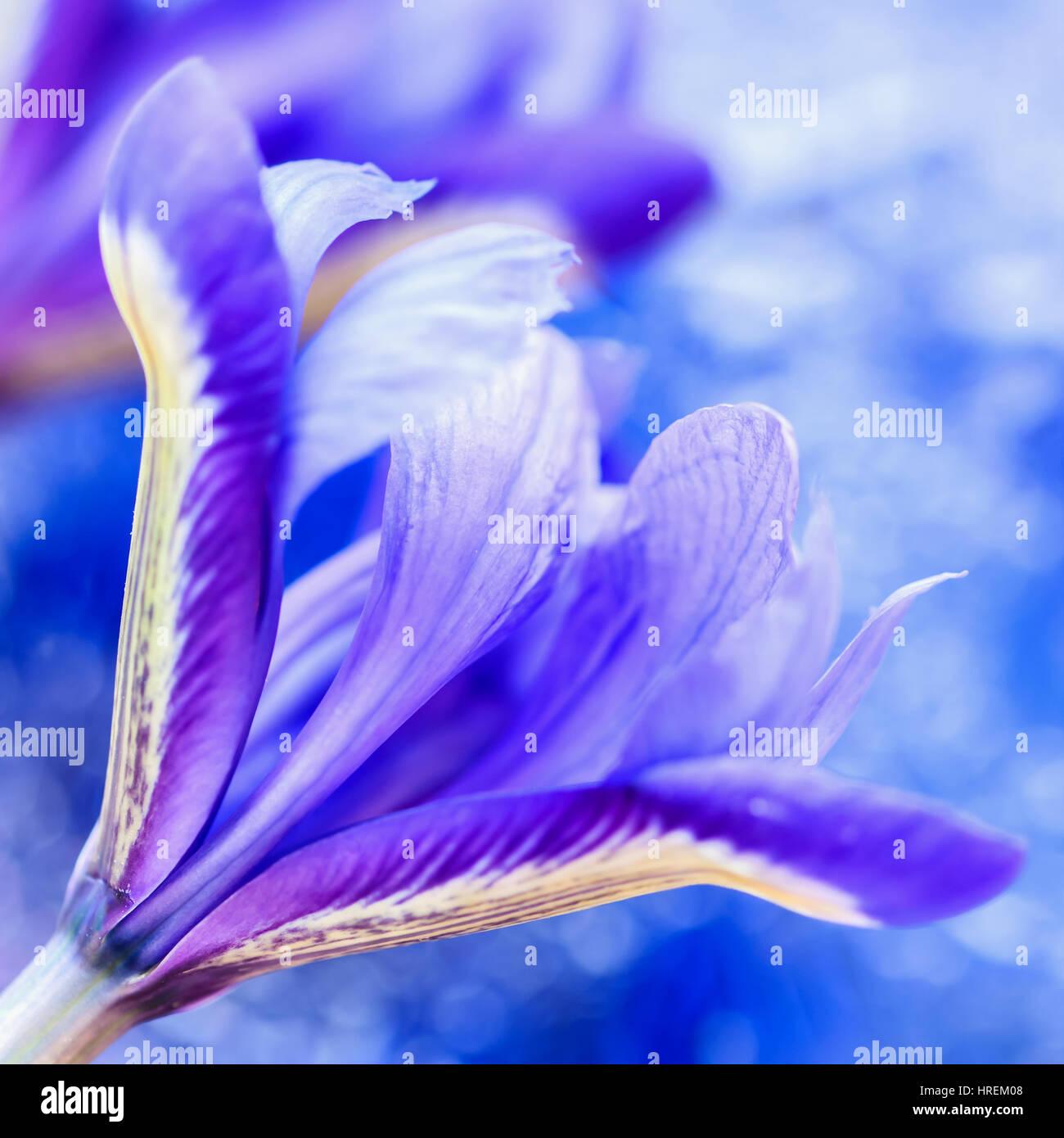Appariscente Pittoresco Luminose Iris Fiore Su Sfondo Blu Floral