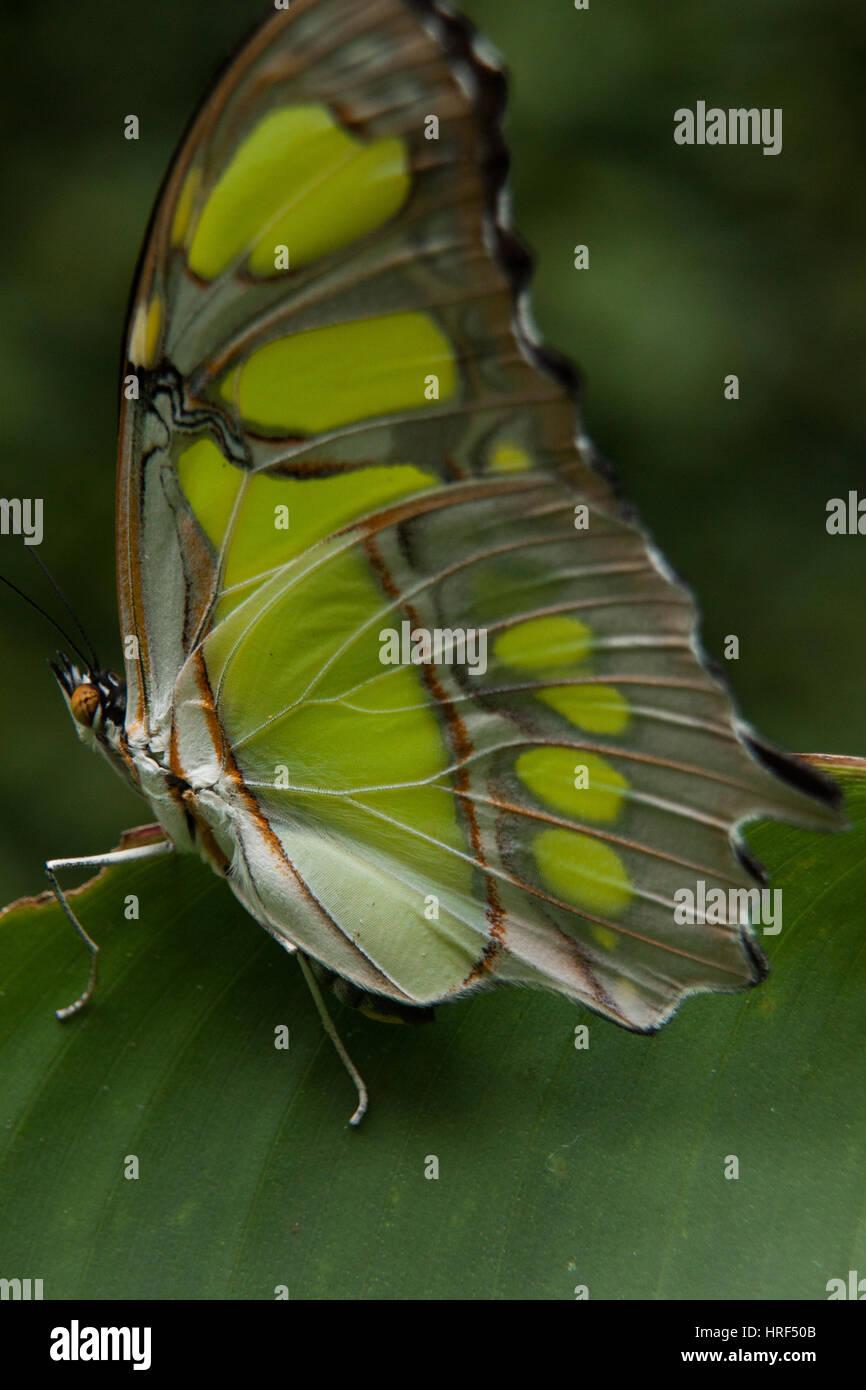 Malachite butterfly (Siproeta Stelenes) fotografato in Foz do Iguaçu - Paraná - Brasile Foto Stock