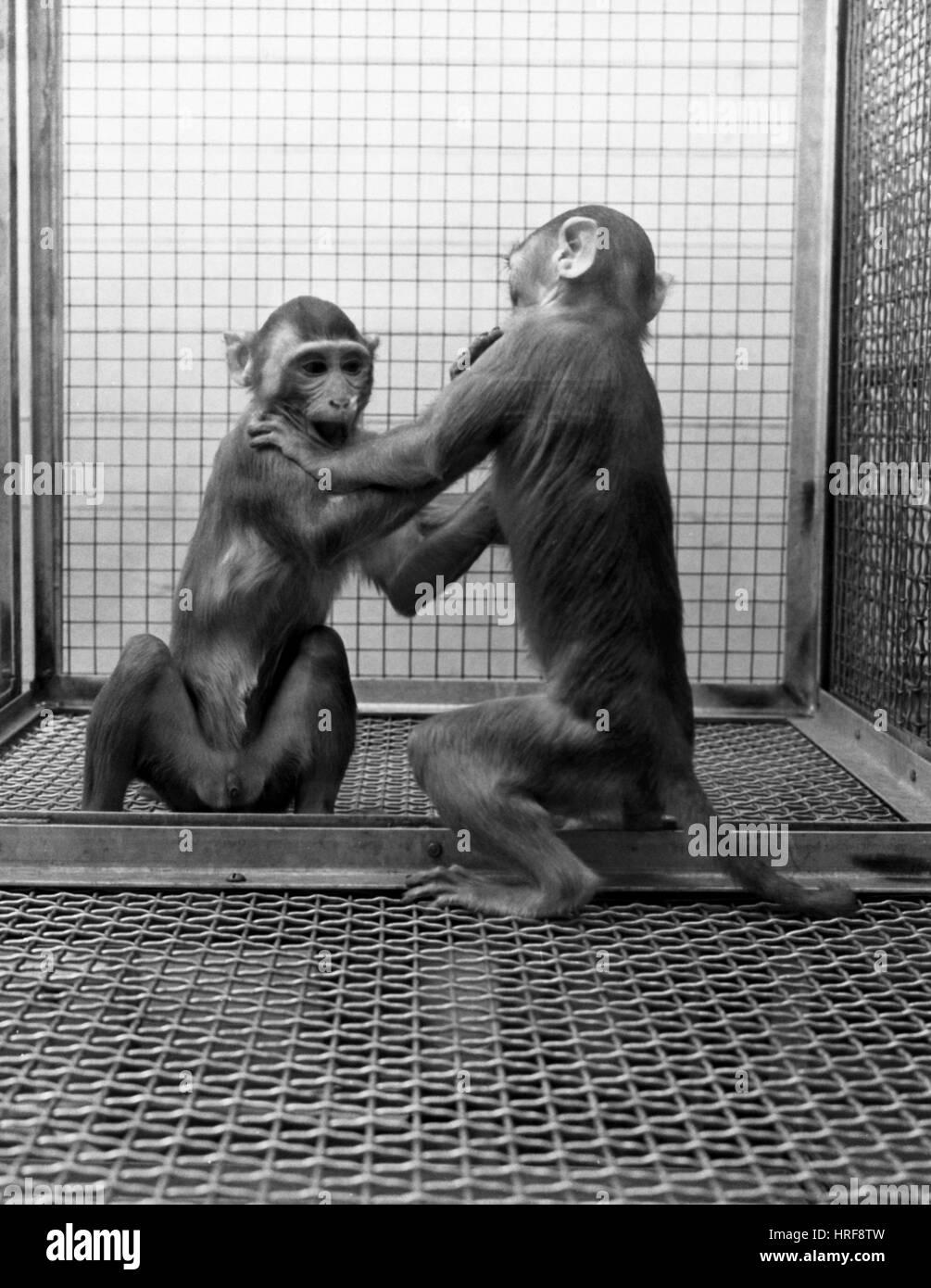 Primate di socializzazione la ricerca Foto Stock