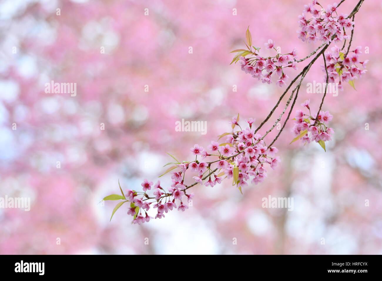 Fiori Selvatici Foto E Nomi rosa bellissimi fiori selvatici ciliegio himalayano un altro