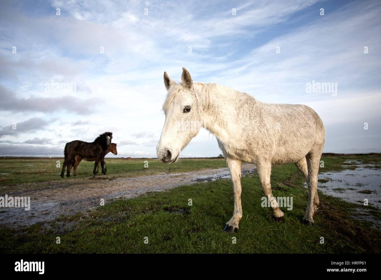 Cavalli in un campo inondato di New Forest Immagini Stock