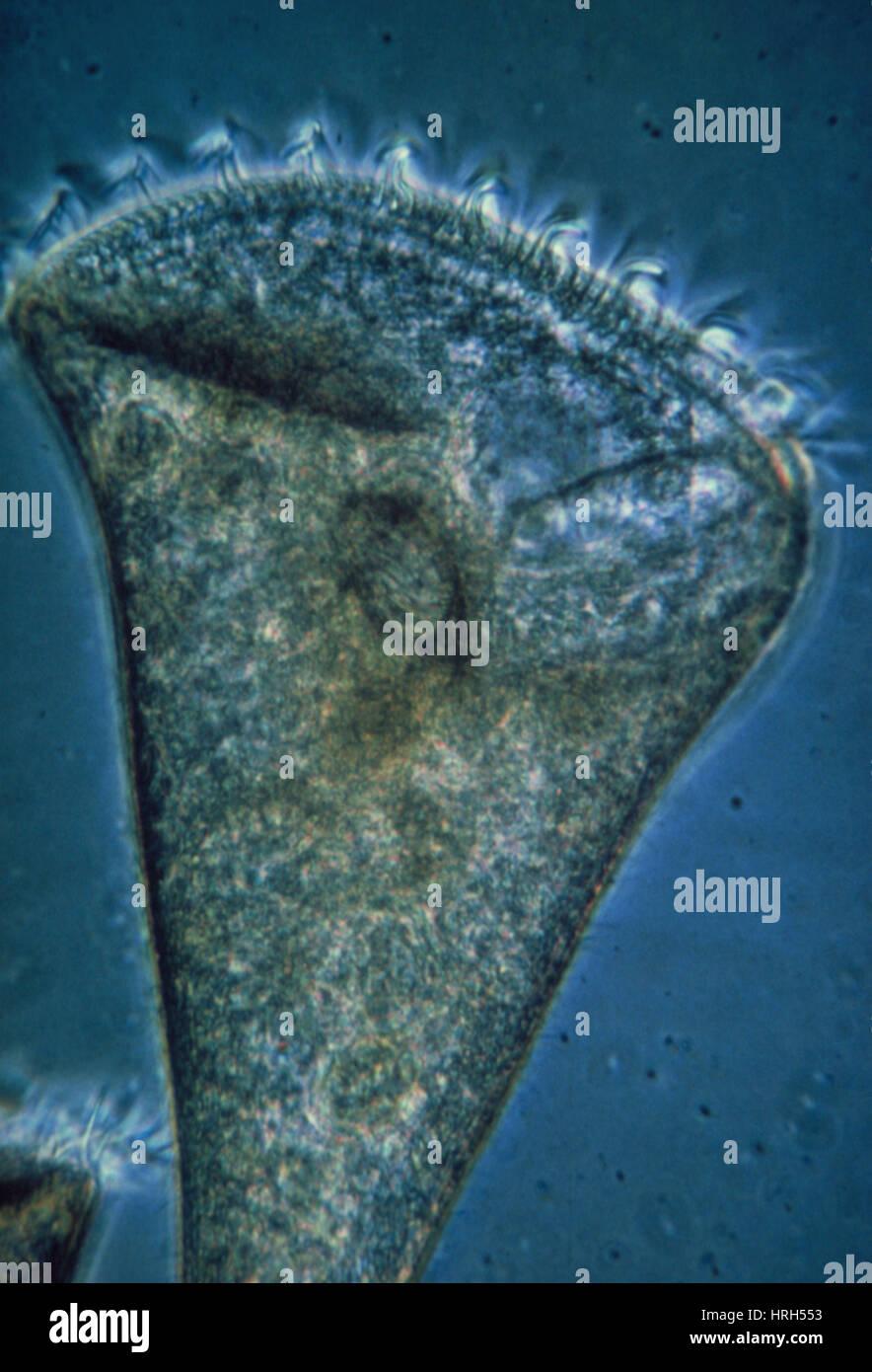 LM di Stentor sp., un protozoo ciliato Immagini Stock