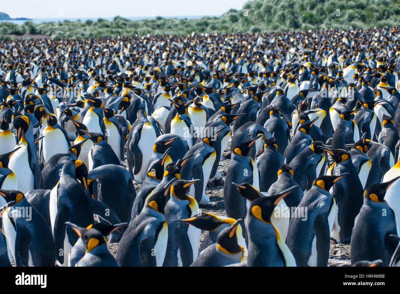 Re gigante penguin (Aptenodytes patagonicus) colonia, Salisbury Plain, Georgia del Sud, l'Antartide, regioni polari Foto Stock