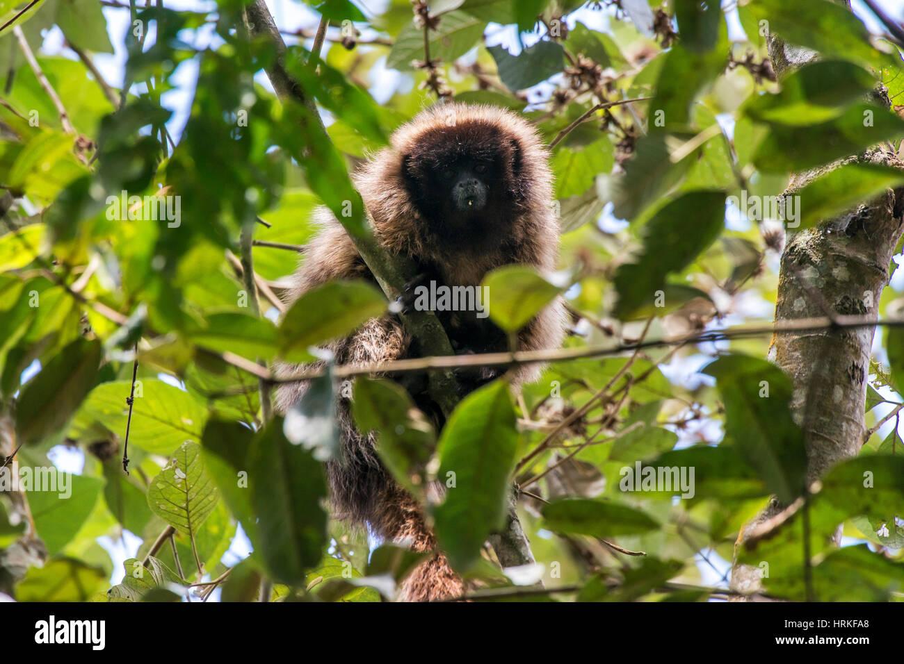 Mascherato scimmia Titi (Callicebus personatus), fotografato in Santa Maria de Jetibá, Espirito Santo - Brasile. Immagini Stock