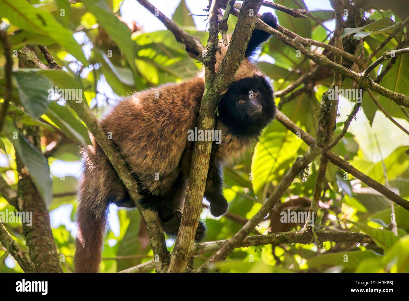 Mascherato scimmia Titi (Callicebus personatus), fotografato a Santa Teresa, Espirito Santo - Brasile. Foresta atlantica Immagini Stock