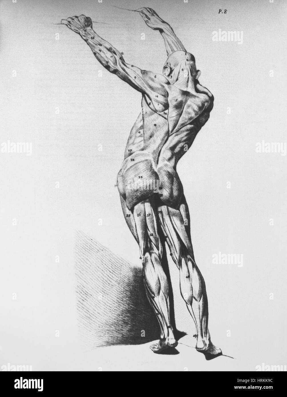 Muscoli Immagini Stock
