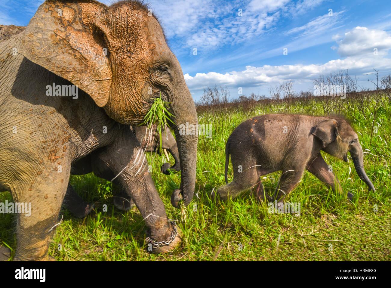 Un elefante di Sumatra baby passeggiate nella parte anteriore della sua mandria nella terra di pascolo di modo Kambas Immagini Stock