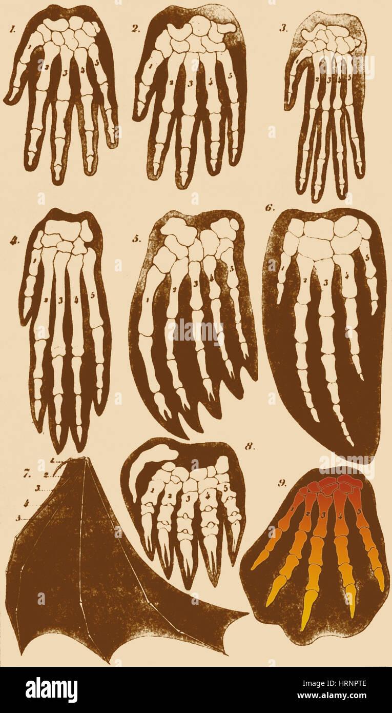 Mammifero vertebrati avampiedi, Ernst Haeckel Immagini Stock