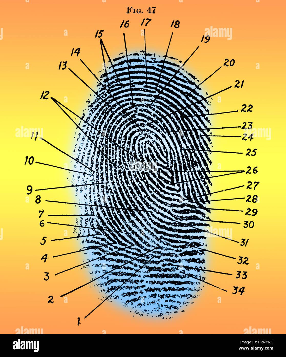 Schema di impronte digitali, 1940 Immagini Stock