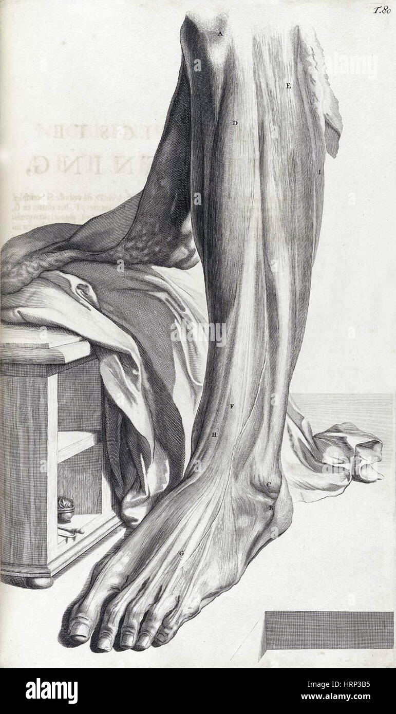 Anatomia humani corporis, tabella 80, 1690 Immagini Stock