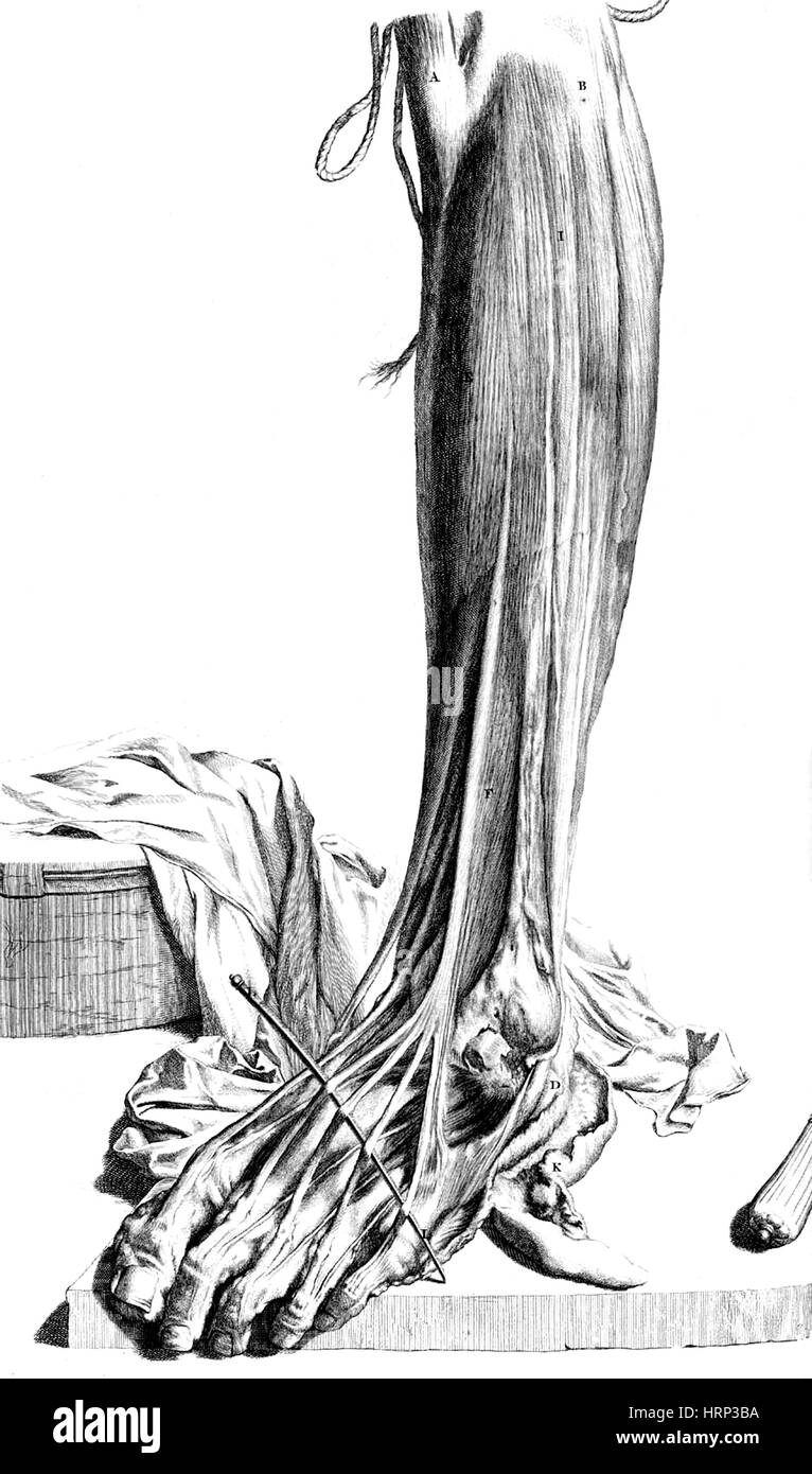 Anatomia humani corporis, tabella 81, 1690 Immagini Stock