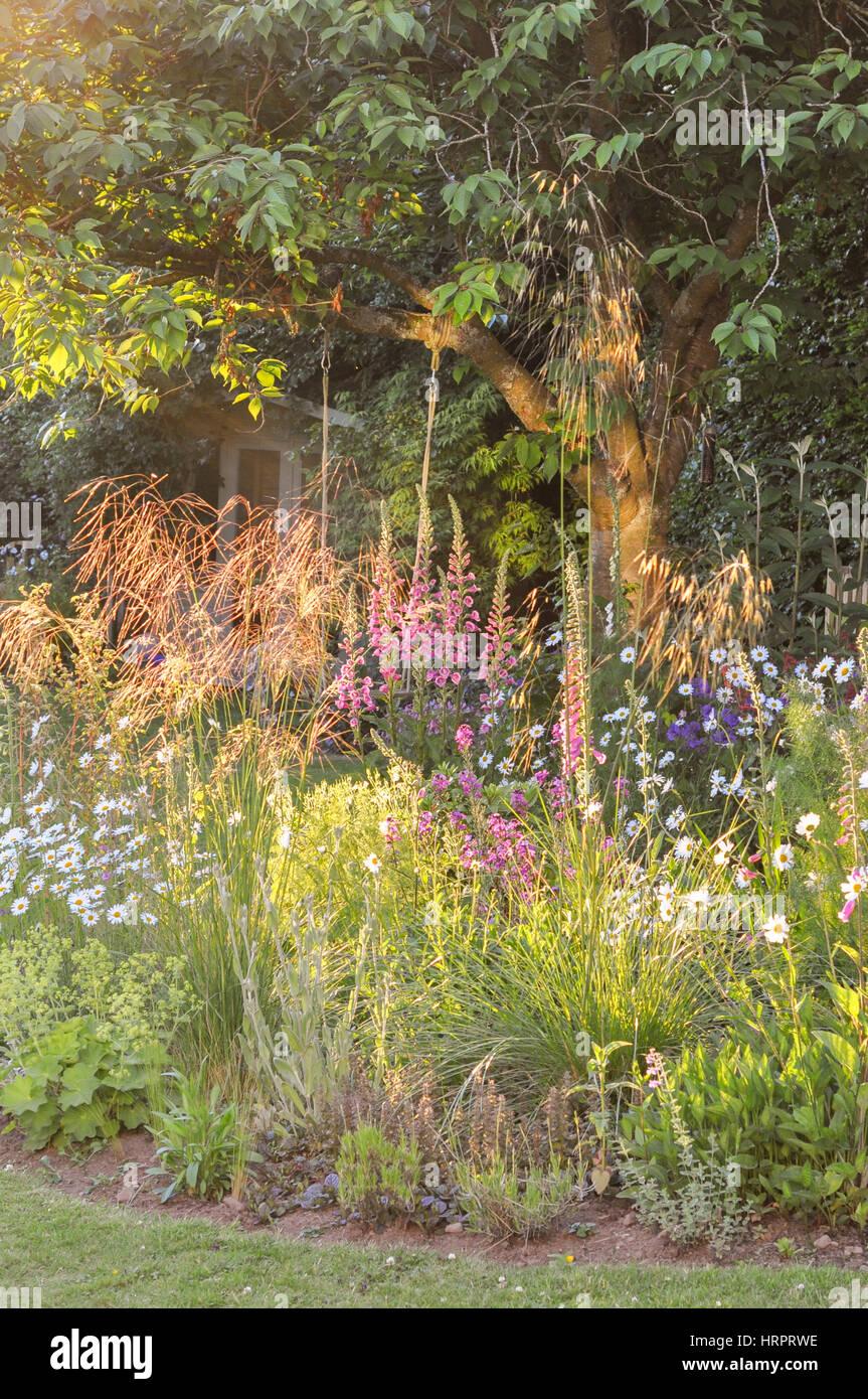 Stipa gigantea backlit - inizio estate giardino delle erbe retroilluminati da tardo pomeriggio sun Immagini Stock