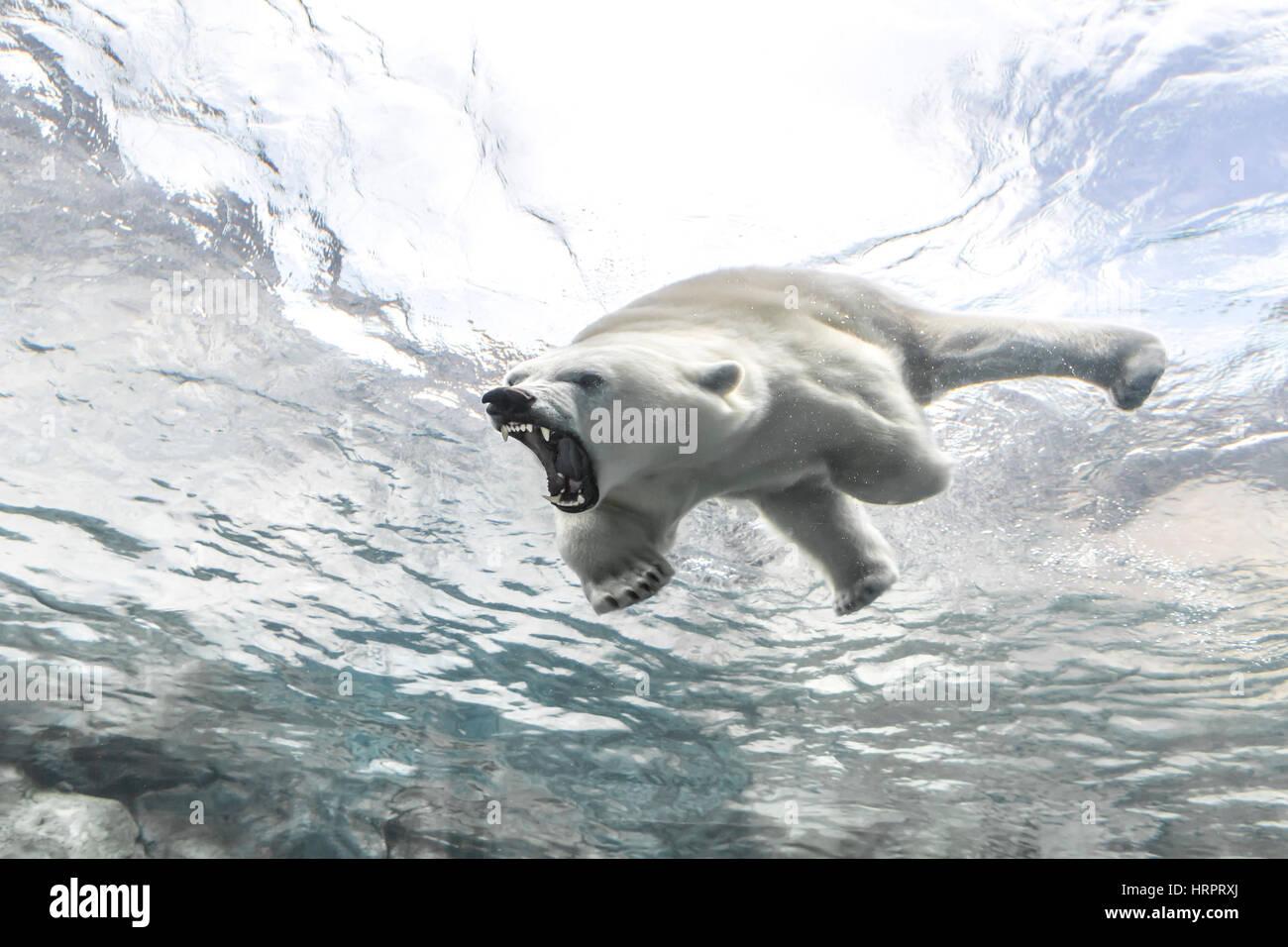 Aggressiva orso polare al viaggio a Churchill, Assiniboine Park Zoo, Winnipeg, Manitoba, Canada. Foto Stock