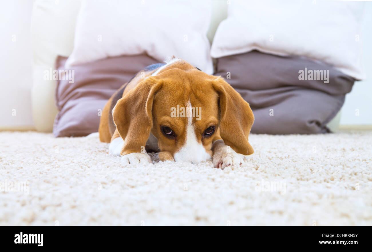 Tappeto Morbido Per Cani : Cane su bianco morbido tappeto a casa lo sfondo con il cane