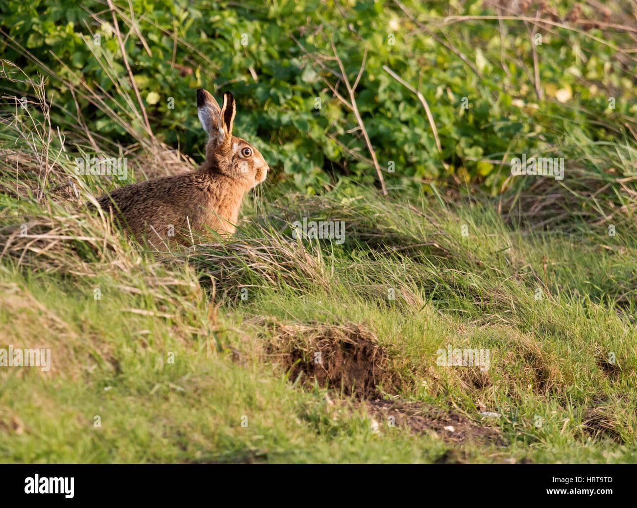 Un marrone lepre (Lepus europaeus) assume nel sole del tardo pomeriggio, Norfolk Immagini Stock