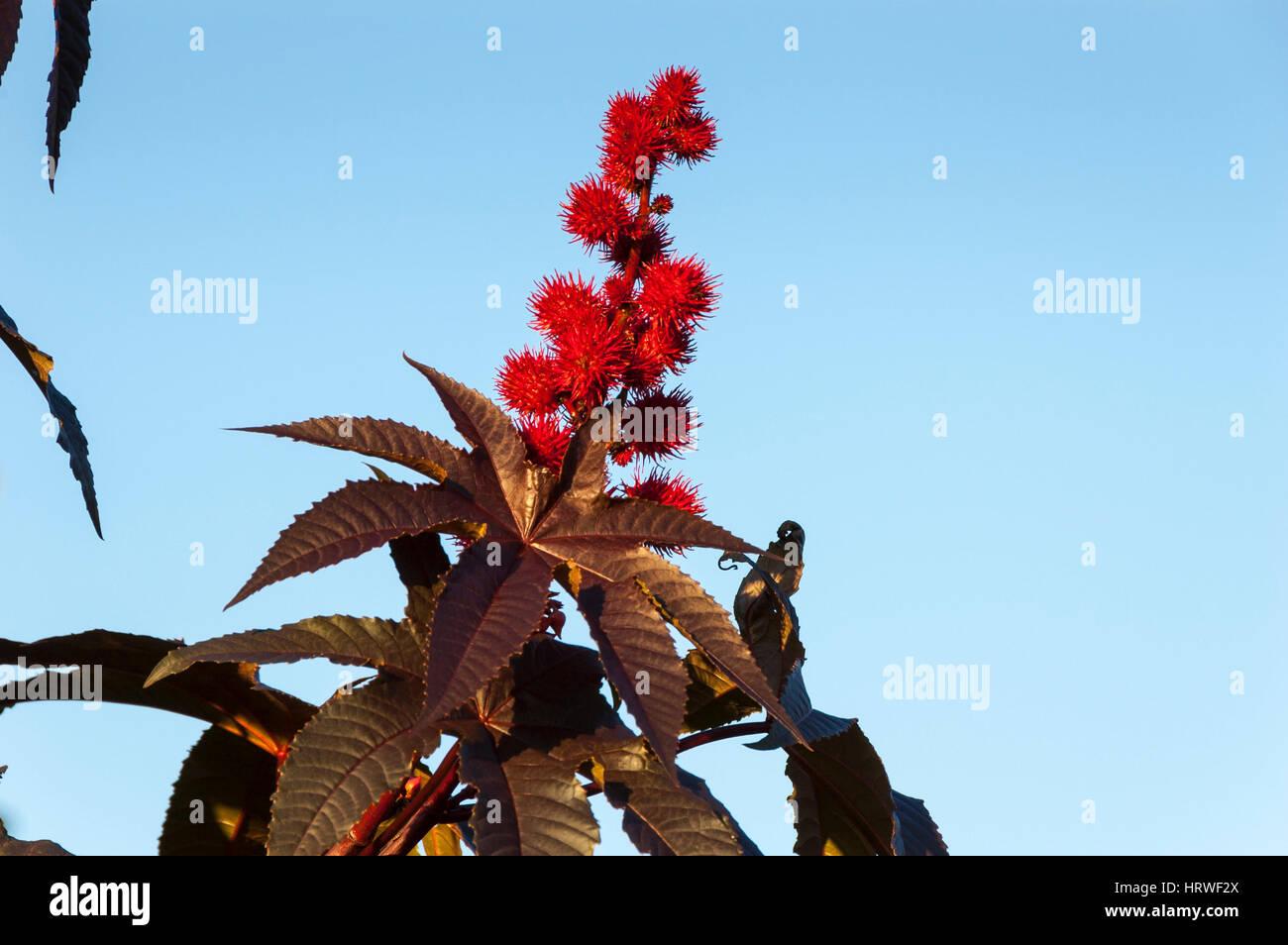 Capsule di olio di ricino impianto ricinus communis rosso