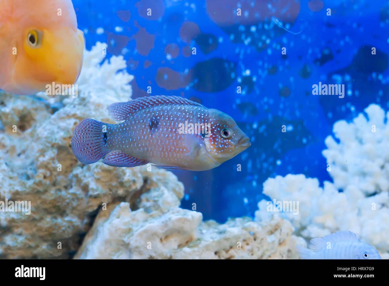 Pesci Galleggianti In Un Acquario Con Pietre Su Uno Sfondo Blu Foto